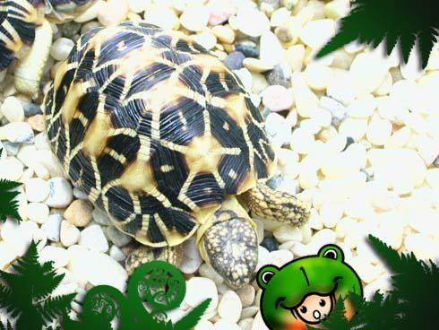 Name : star tortoise / indian star tortoise